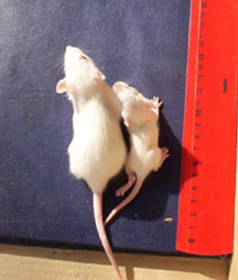 Rats photo #1